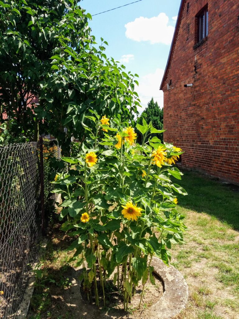 Tall sunflowers growing from an old well
