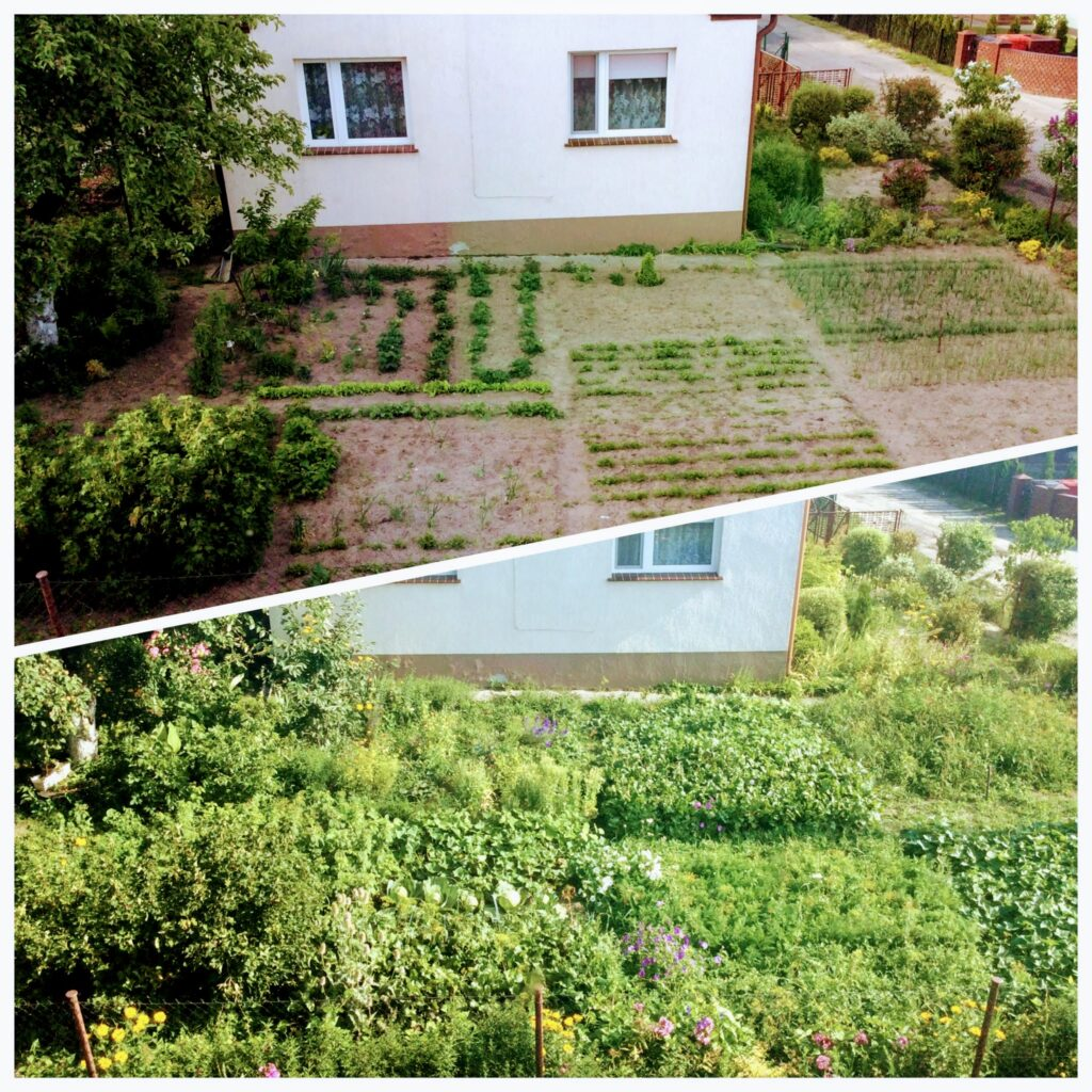A side-by-side comparison of a village vegetable garden in spring and in summer