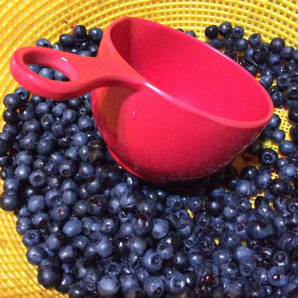 Yellow colander full of wild blueberries with a red measuring cup in the middle